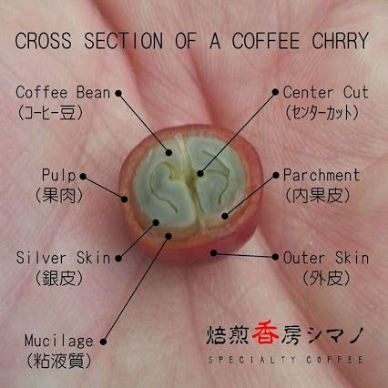 cross section of a coffee cherry
