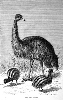 Thomas J. Nevin | Tasmanian Photographer: An Ornithological Disaster: Thomas Nevin's emu 1878