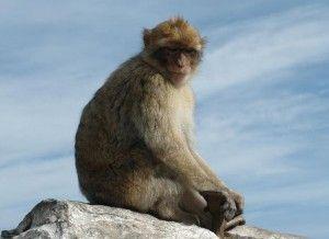 Wat gebeurde er in het verleden op 24 juli? 1704 – Engeland verovert Gibraltar op Spanje. Gibraltar is een Brits overzees gebied gelegen aan het zuidelijke eind van het Iberisch Schiereiland bij de ingang van de Middellandse Zee.  Op de rots leeft een door de Britten ingevoerde apenkolonie in een natuurreservaat. Het gaat om een troep berberapen (Macaca sylvanus), die verder ook in Noord-Afrika voorkomen. Volgens een legende blijft Gibraltar in Britse handen zolang er apen op de rots leven.