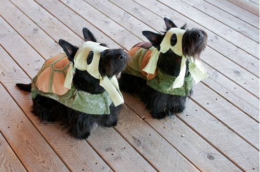 Scottish Terrier Ninjas!!!