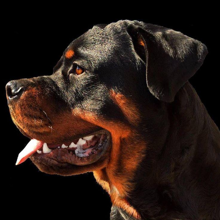 Фото собак убийц ротвейлера питбуля