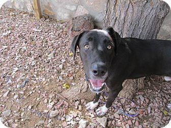 El Paso, TX - Great Dane Mix. Meet Captain, a dog for adoption. http://www.adoptapet.com/pet/16378053-el-paso-texas-great-dane-mix