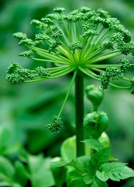 A stunning, architectural plant that adds height and drama to a border -  Angelica archangelica