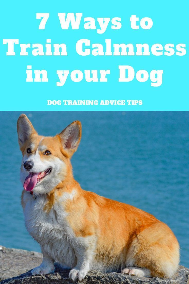 7 Ways To Train Calmness In Your Dog Alpha Dog Training Dog