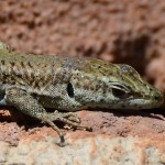 Lizard, Nerja, March 20th