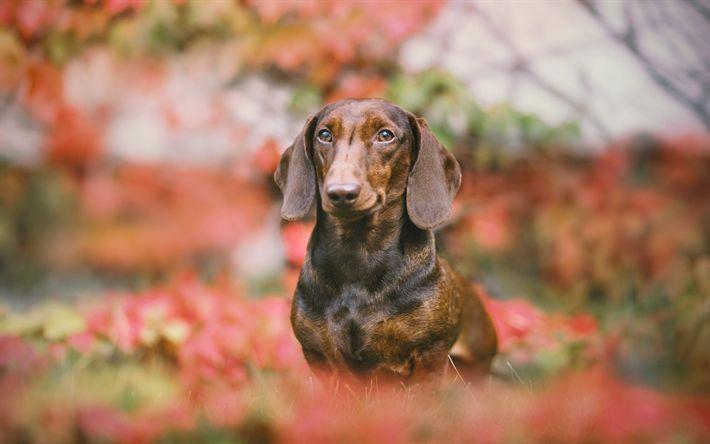 Download imagens Dachshund, outono, cão de pequeno porte, cão de caça, brown dachshund, animais de estimação