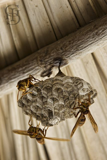 Wasp nest. Paper Wasps. They build in our NZ garden, anywhere that stays dry. Inoffensive but have a nasty sting.