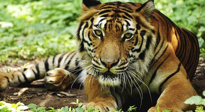 """Kolkata: Six tigers would be relocated to Buxa Tiger Reserve (BTR) in north Bengal from neighbouring Assam as part of a plan for augmentation of tiger population in the reserve which was approved by the National Tiger Conservation Authority (NTCA). """"The technical committee of the NTCA has..."""