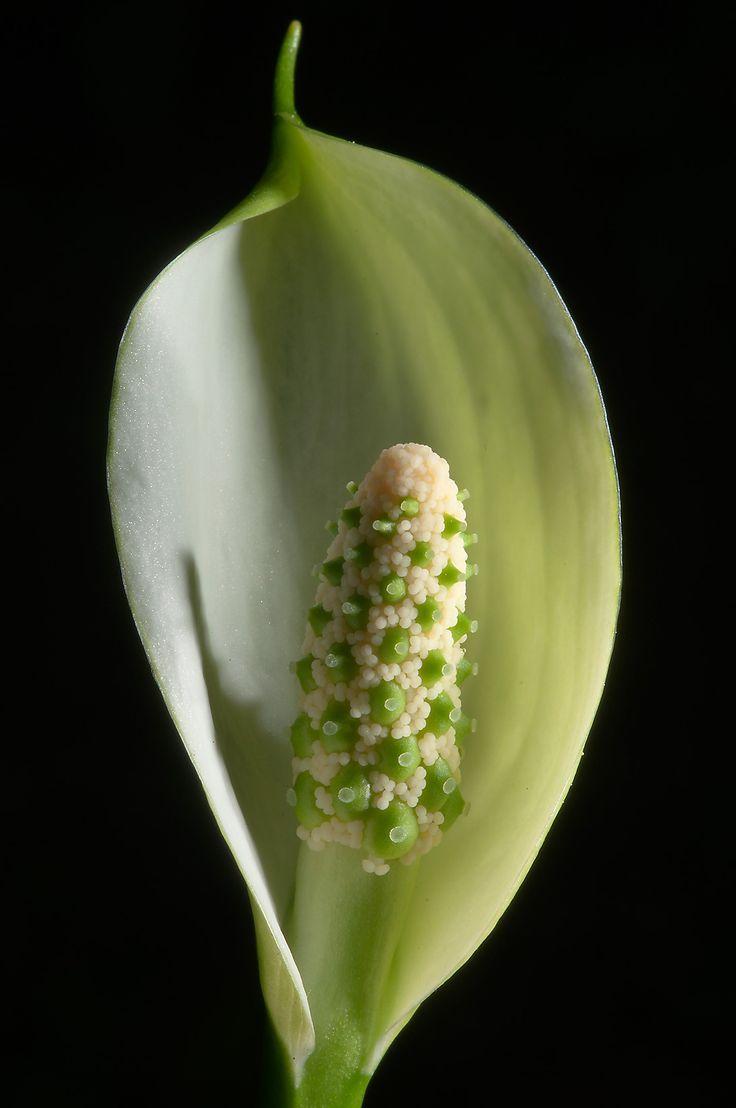 Wild Calla (Water Arum, Calla palustris)