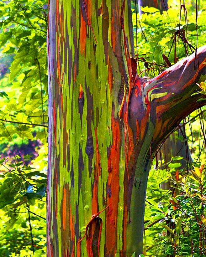 The Rainbow Forest Of Eucalyptus In The Philippines Rainbow Eucalyptus Tree Rainbow Tree Rainbow Eucalyptus