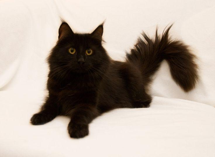 Drogos Norwegian Forest Cats | NL*9 Levens Catharina Van Alexandrie NFO n