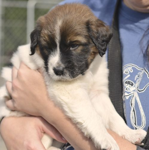 Pooh is an absolutely adorable 7 week old mixed breed puppy. We believe he is an aussie shepherd and husky mix. Whatever this mix is, we love it!! His adoption fee is $150. To arrange to meet this puppy, please call Sarge's at (828) 246-9050 or you...