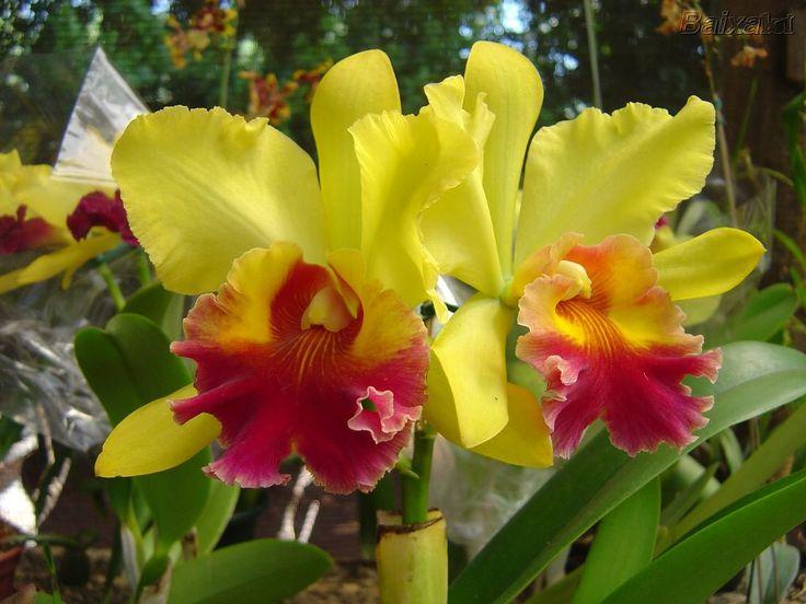 orquídeas-lindas-nomes-tos                                                                                                                                                      Mais
