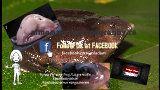 Purple pig-nose frog /La grenouille Nasikabatrachus /Nasikabatrachus sahyadrensis  Names in English that have been used for this species are purple frog, Indian purple frog or pignose frog. Le batracien est de couleur violette, son corps est boursouflé, ses pattes boudinées, et son museau proéminent. http://aime.animauxzoogranby.ca/profile/Purple-pig-nose-frog