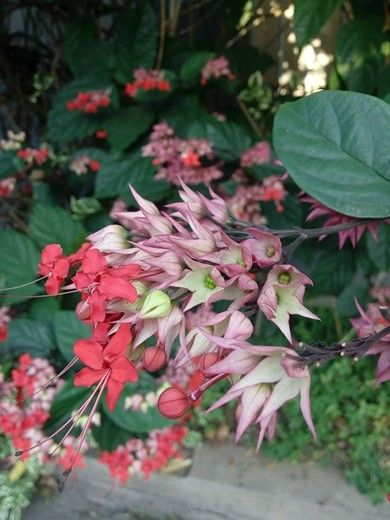 Clerodendrum Red Pink