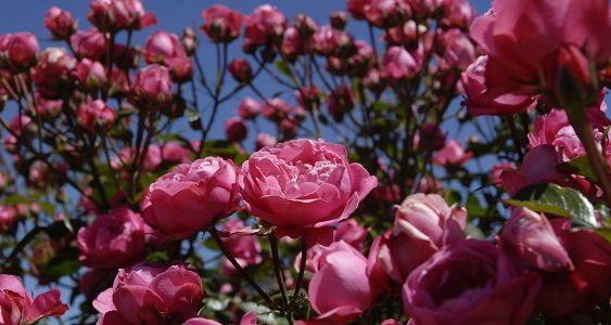 Free State National Botanical Gardens are also known as the City of Roses © Image courtesy Graeme Williams