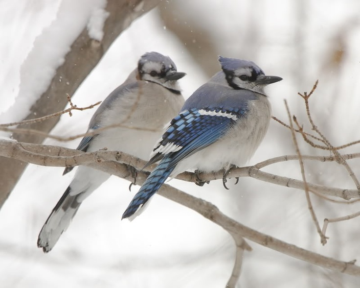 Male And Female Blue Jay I Like To Think That They Are In