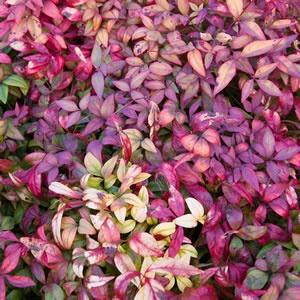 Nandina Domestica Flowers