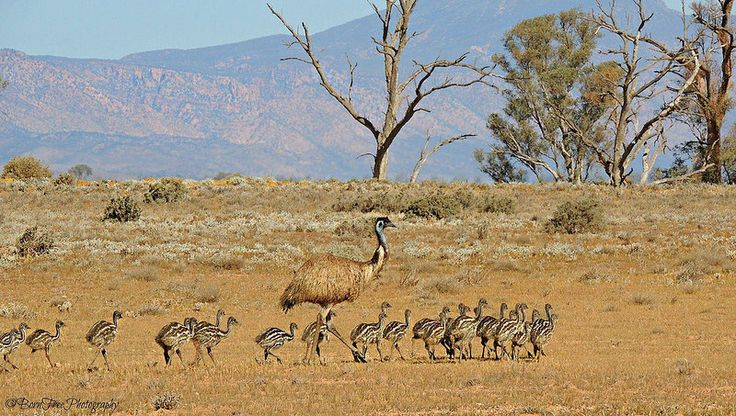 Tim Lindner in ‪‎SouthAustralia‬'s magical Flinders Ranges. Emu n chicks