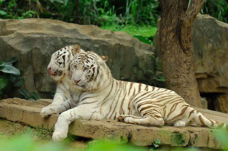 Rare white bengal tigers in Liberec Zoo