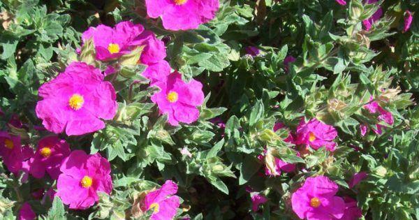 Στη χερσόνησο της Χαλκιδικής, o μύθος λέει ότι έγινε ένα συμβούλιο πάνω στον Όλυμπο όπου οι Θεοί καθόρισαν ποια φυτά θα είναι θεραπευτικά. Οι θεοί όρισαν ό