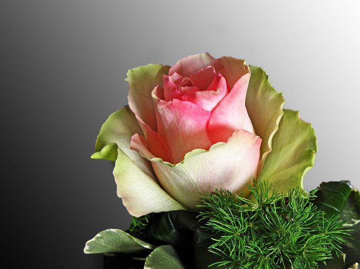Kolorowa, Róża, Listki