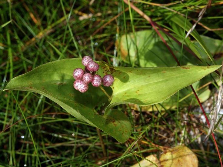 Ekorrbär, Maianthemum bifolium - Blomväxter - NatureGate