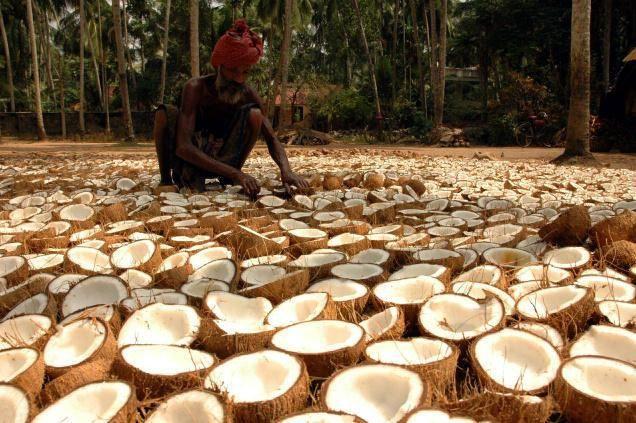 Kokos, kokosový olej, účinky, výskumy...