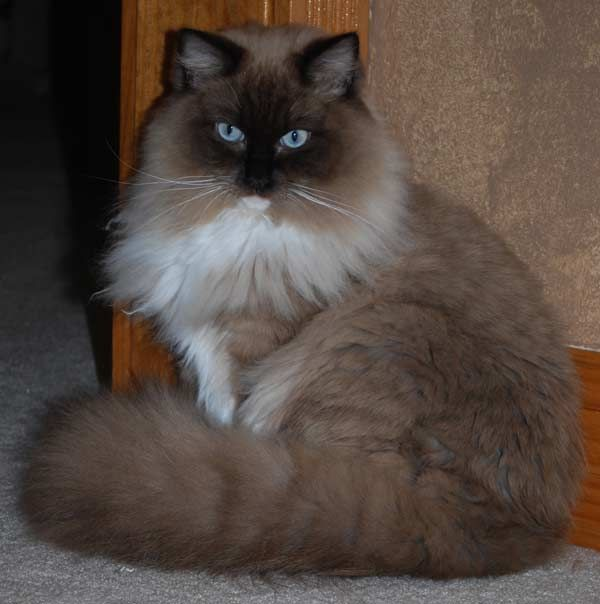 Many owners claim their Ragdoll cat will actually follow