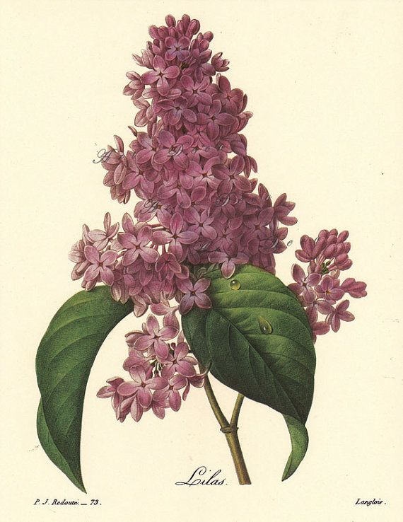 Lilac...Pierre Redoute Botanical Print...digital image no. 1568