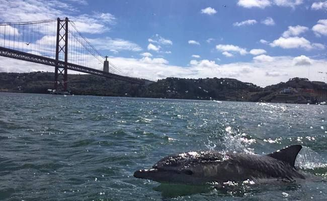Lisbon Attracts Dolphins back to the Tagus River