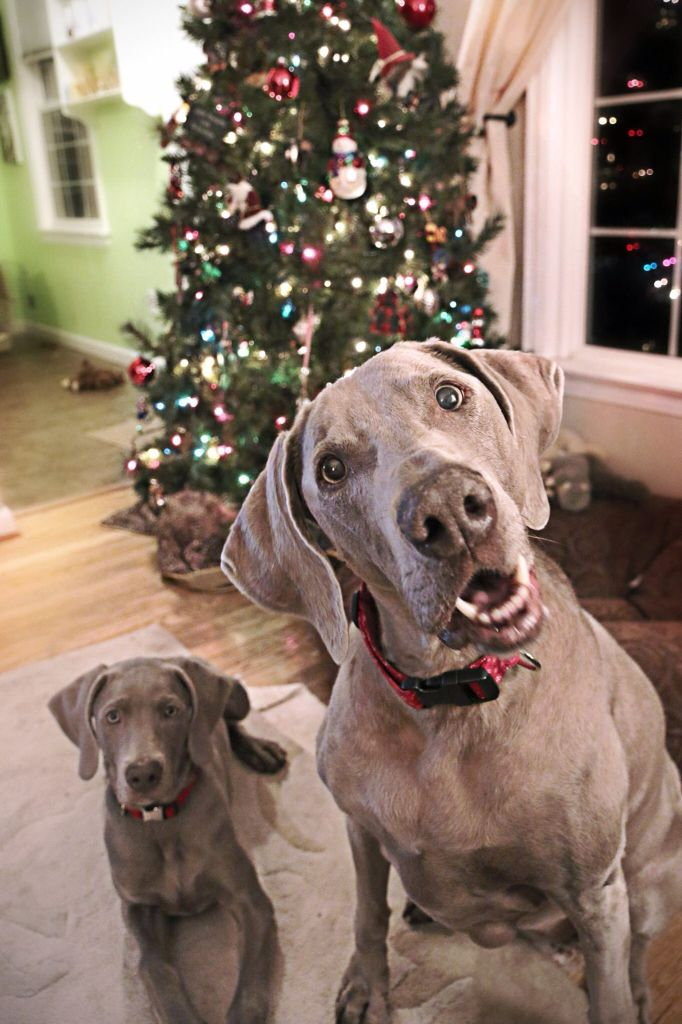 Weimaraner, Christmas dogs, cute dog, Weimaraner puppy