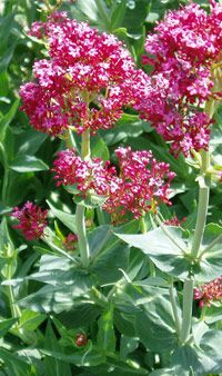 Red Valerian or Jupiter's Beard, Valerian considered to be the Water of water in the Golden Dawn system of Magic -