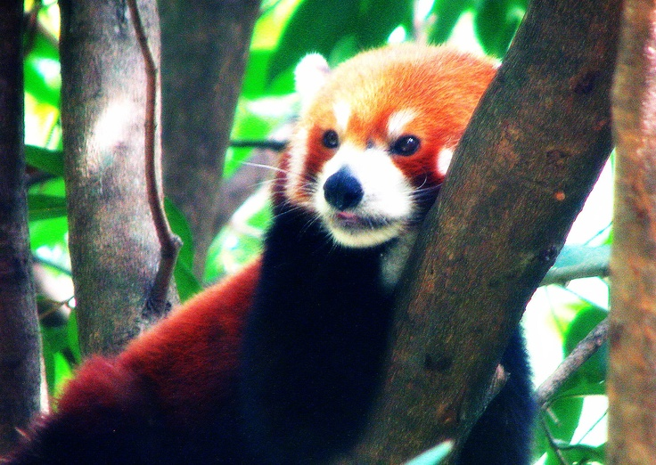 A Nepalese Red Panda. Also known as Fire Fox, Fire Cat or Lesser Panda. Taken at the Cairns Tropical Zoo.