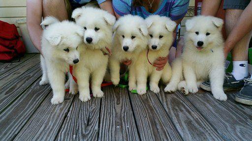 Litter of 6 Samoyed puppies for sale in JACKSONVILLE, NC. ADN-25838 on PuppyFinder.com Gender: Male. Age: Under 1 Week Old