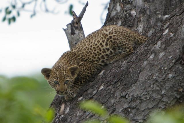 Going on safari can be like entering the lottery... and this time Alessandro Bonora hit the jackpot!  Go here to find out about his awesome photo safari: http://blog.africageographic.com/safari-blog/photography/finding-leopard-cubs-in-a-tree-and-other-photographic-adventures/