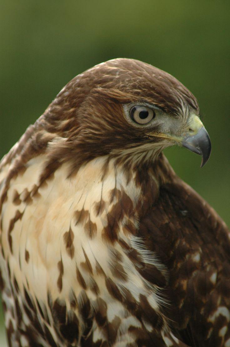 birds of prey | Muskoka Birds of Prey