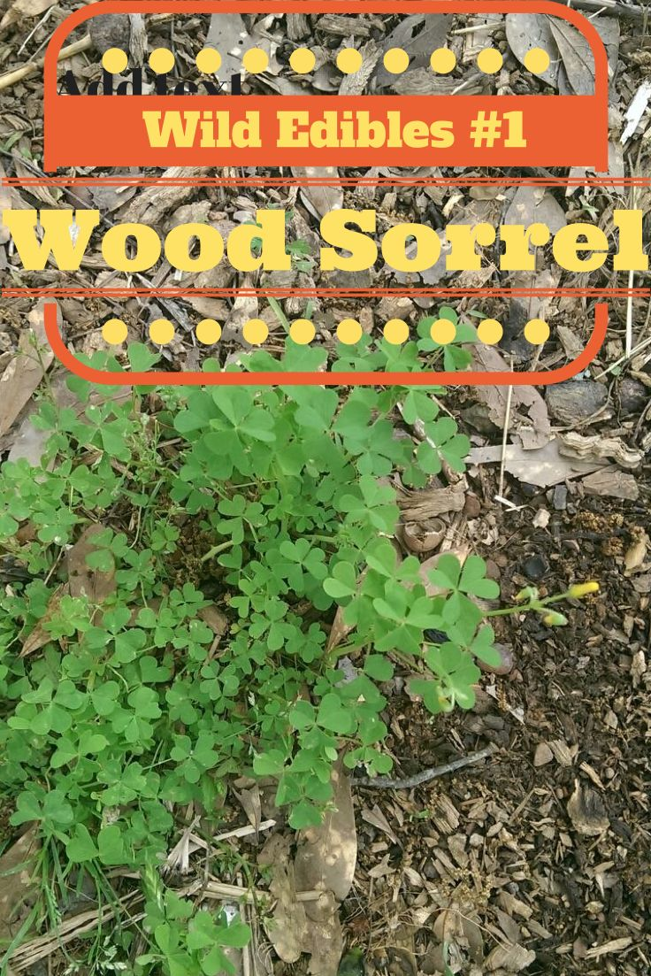 The Rural Economist: Wild Edibles #1 Wood Sorrel