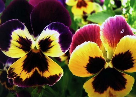 Популярный цветок фиалки анютины глазки: рассада анютиных глазок и выращивание цветов анютины глазки на балконе и в саду. Популярные сорта анютиных глазок