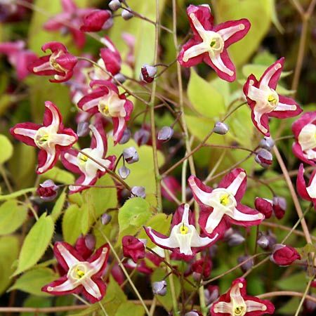 Epimedium rubrum is another great low-maintenance plant for dry shade, chosen by Dugald Cameron of Garden Import for 'Gardening from a Hammock.com' You can see more picks at www.GardeningfromaHammock.com
