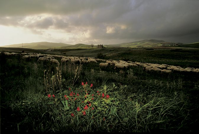 William Albert Allard - Wildflowers and sheep, Agrigento, Sicily, 1994