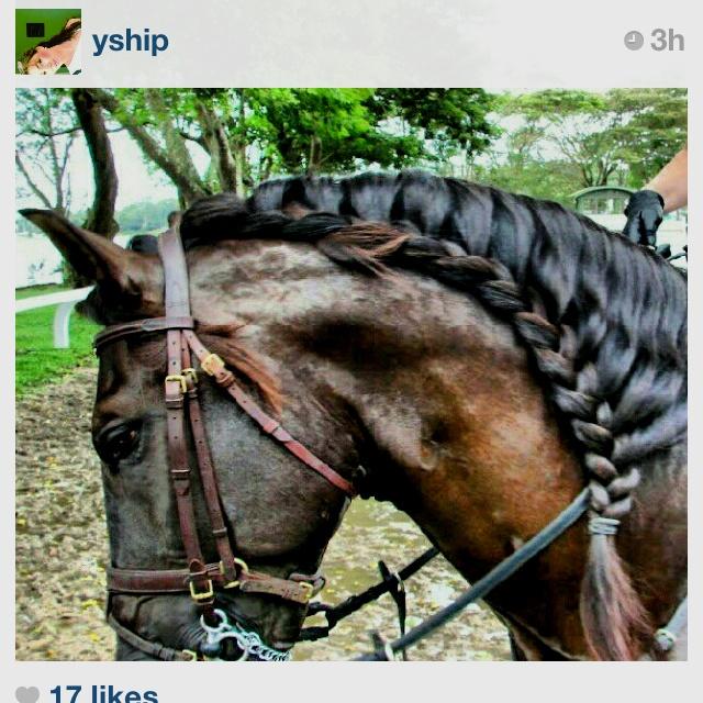 Ideas for braiding Indy's mane courtesy of an Instagram friend. Beautiful Spanish Braid!
