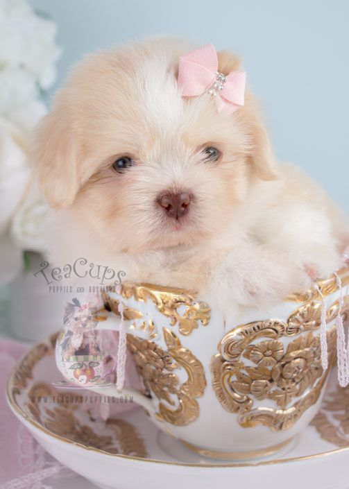 Adorable Shih Tzu Puppy For Sale 249 Teacups Puppies Shihtzu