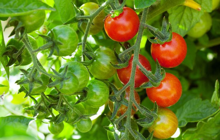 How To Plant http://www.rodalesorganiclife.com/garden/cherry-tomatoes-the-easiest-plant-youll-ever-grow/slide/2