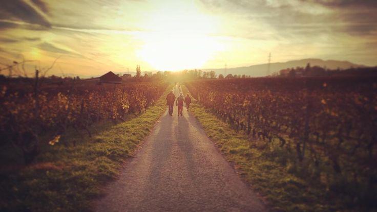 Ein #Spaziergang in den #rebbergen von #begnins  Bei diesem wunderbaren Herbstwetter einfach einmalig. Danach geht's weiter in den Weinkeller um zu degustieren! Magst du  Wein?  #vaud #waadt #switzerland #schweiz #wein #wine
