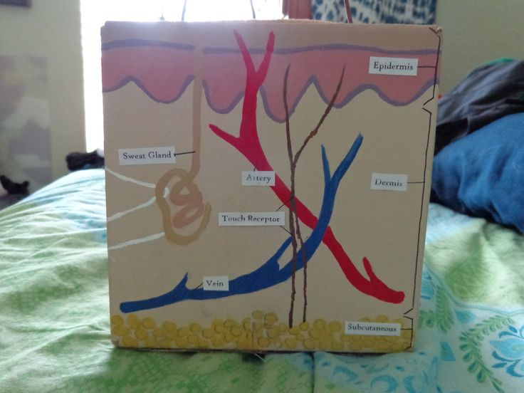 Image Result For 3d Integumentary System Project Integumentary System Project Human Body Science Projects Skin Model