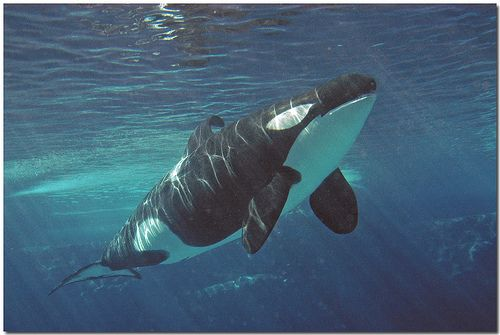 He died in 2003 = =Keiko.  Our beloved Whale. But he died in the wild where he lived the rest of the five years. Never found his pod. But he was wild and living as a wild orca should live xoxoxo's Keiko. Now it is time to free the rest kept in captivity and be in the wild just like Keiko did how amzing it was to see him back in the wild again.