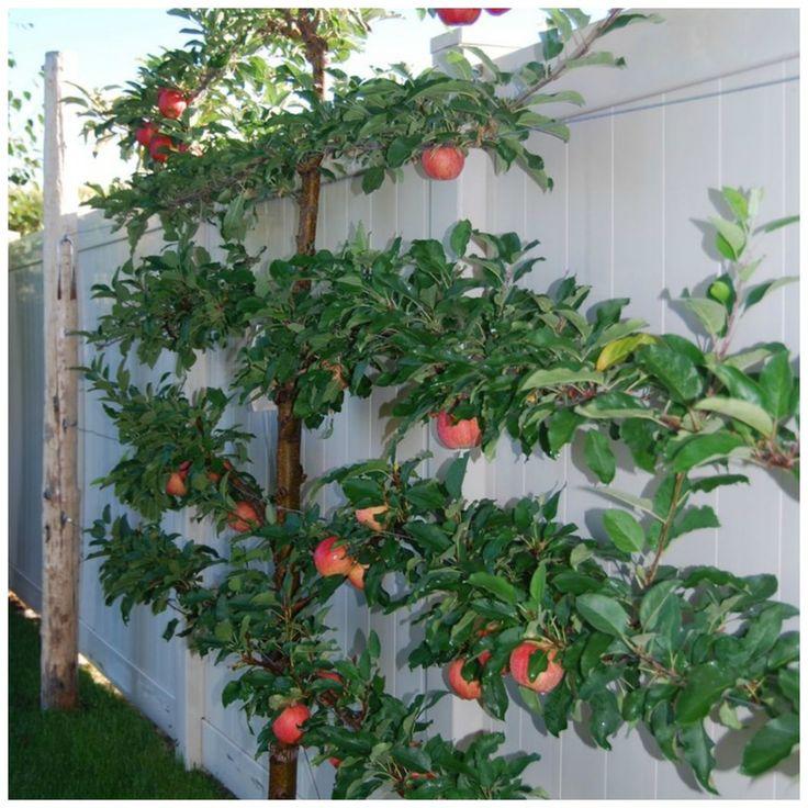 Espalier Trees For Your Garden