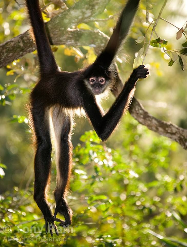 Frans de Waal - Public Page  SPIDER  Southamerican spider monkeys often hang by their prehensile tails, photo by Tony Rath
