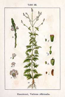 The Medicinal Herb Vervain - treatment of colds, fever, asthma, colic, jaundice, gout, gallstones and parasitic worms.